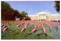 Pink Flamingos on Bascom Hill